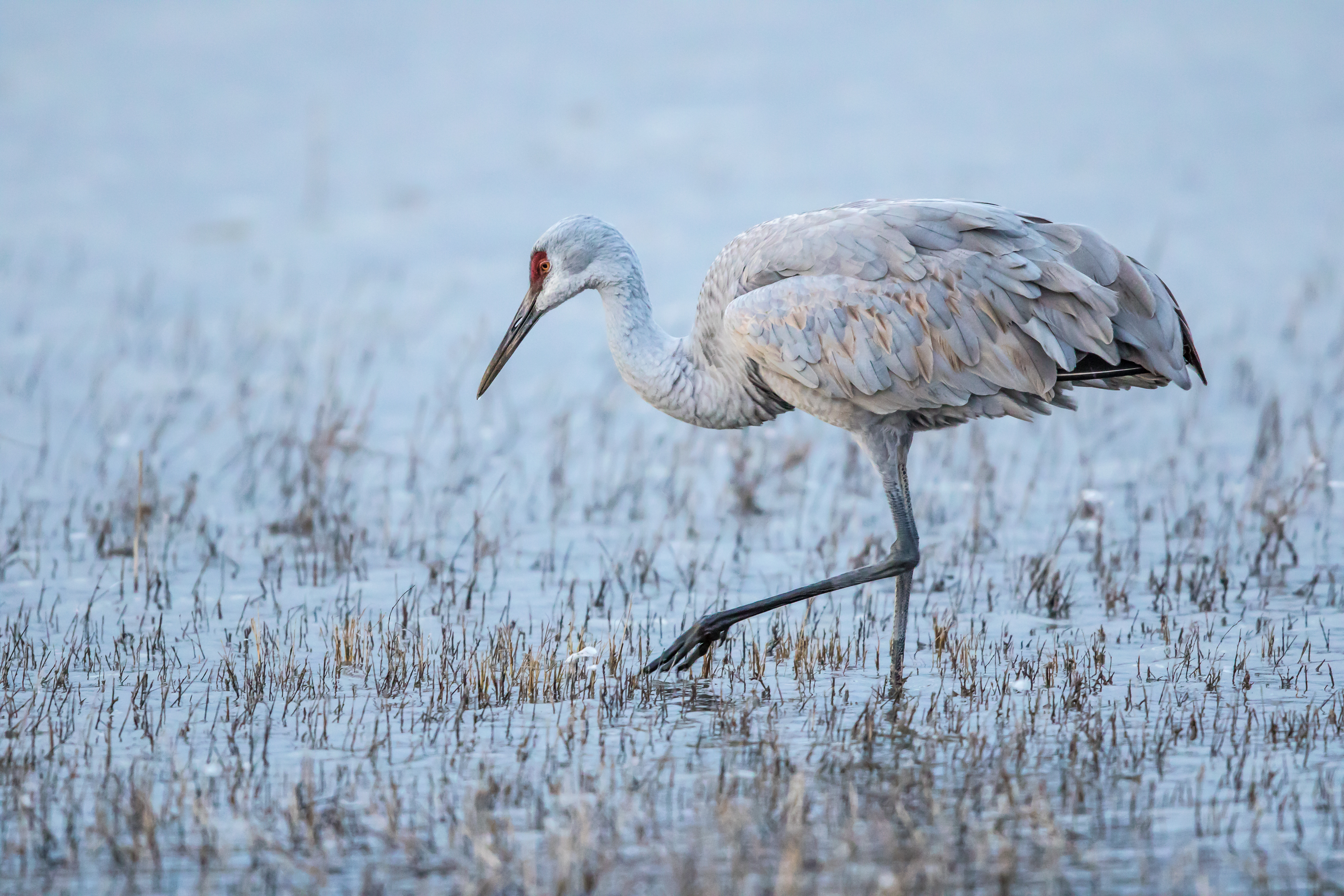 Sandhill Cranes Study Lake Wingra As >> Https Www Smithsonianmag Com Photocontest Detail American